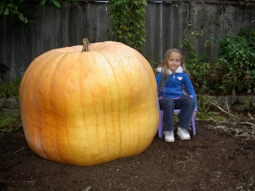 Giant-Pumpkin-Tsawwassen-540-pounds